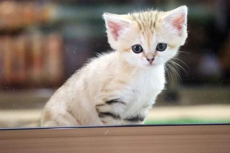 2020年4月に誕生した「スナネコ」の赤ちゃん。その可愛さは希少動物の保全活動プロジェクトが注目される大きなきっかけに