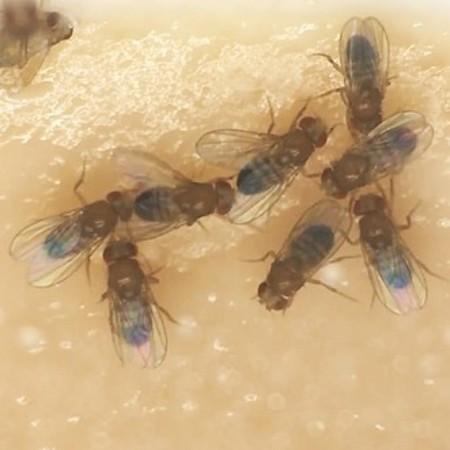 図1 サトリ変異体のオス同志が求愛して輪になったところ(小金澤雅之氏提供の動画に基づく。)