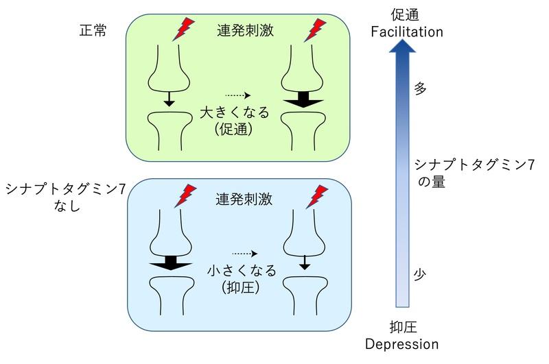脳の短期記憶のスイッチメカニズムを発見