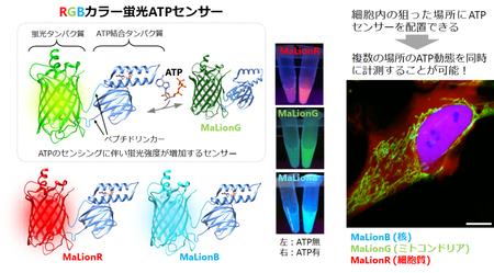 図1 ATPの濃度変化によって蛍光強度が変わるRGBカラーの蛍光ATPセンサー