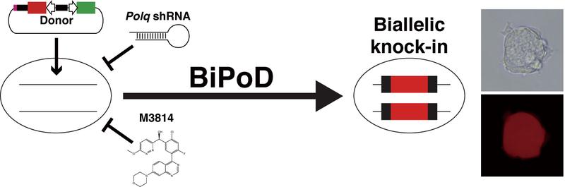 狙った場所にドナーDNAを挿入するノックイン新手法(BiPoD)を開発