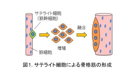 筋肉の再生能力に関わる新たなメカニズムを発見 ―高血糖は筋幹細胞の増殖を悪化させるー