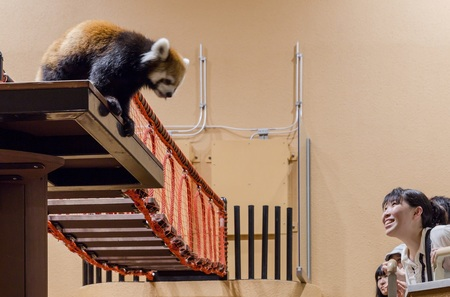 夕暮れ時から活発になるレッサーパンダをはじめ、動物たちの夜の行動を観察