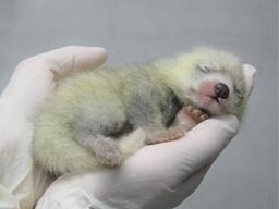 静岡市立日本平動物園で レッサーパンダの赤ちゃん、8月に誕生!