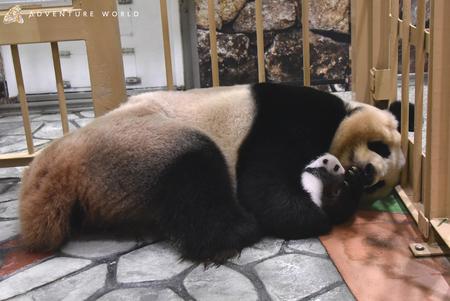 ジャイアントパンダの赤ちゃんNEWS(28日齢)