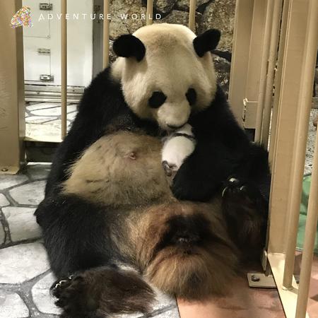 ジャイアントパンダの赤ちゃんNEWS(29日齢)