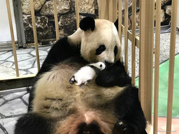 Baby Giant Panda, Weighing Mere 75 Grams at Birth, Now on Public Display at ...