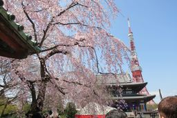 Shiba Park Hotel in Tokyo to Host Cherry Blossom-Viewing Event
