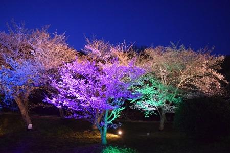 明石公園 桜のライトアップ(イメージ)