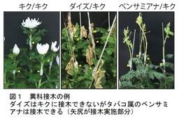 植物の接木が成立するメカニズムを解明 タバコ植物はいろいろな種の植物と接木できる