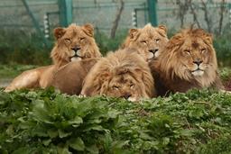 【肉食動物探検バスツアーからのアフリカライオン近影イメージ】