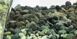 全国的に減少し境省レッドリストランク絶滅危惧Ⅱ類のメダカを保護
