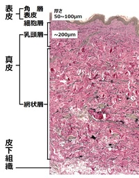 シワが皮膚のどの深さの構造変化によってできているかを特定