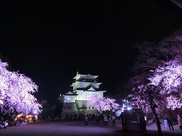 """Odawara Castle Cherry Blossom Light-up: Night Cherry Blossoms Dyed in Light"" Starts"