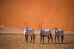 サウジアラムコの操業拠点があるシャイバの野生生物保護区