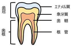 「歯髄」と「歯根」